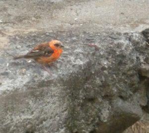 cardinal rouge 2