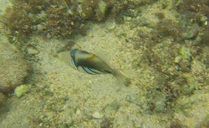poisson Baliste Picasso arabe Rhinecanthus assasi