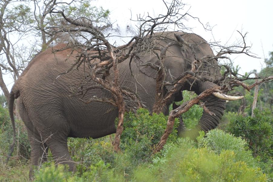 elephant hluhluwe (1)