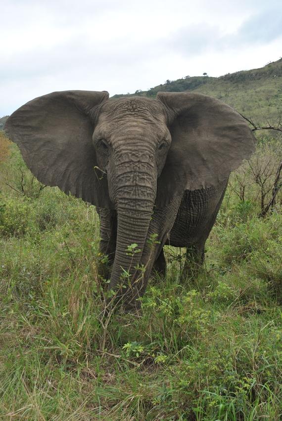 elephant hluhluwe (2)