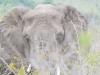 elephant face hluhluwe