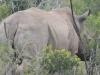 rhino hluhluwe (4)