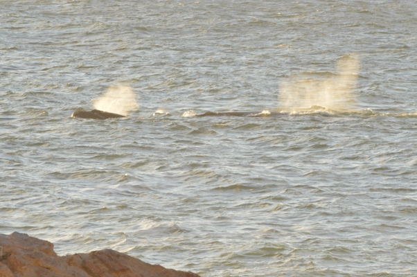 baleines au coucher de soleil
