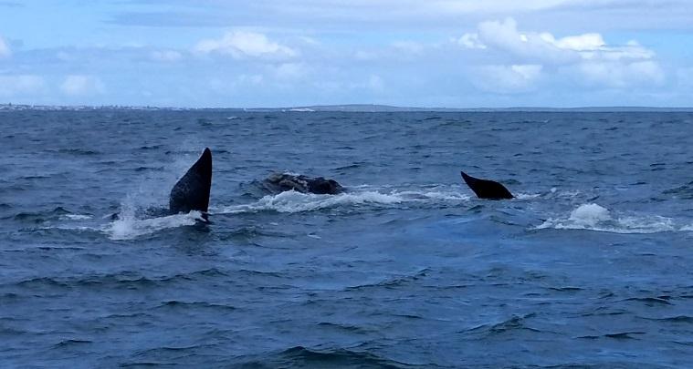 baleines hermanus (3)
