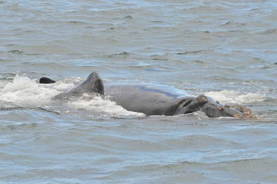 baleines hermanus walker bay (1)