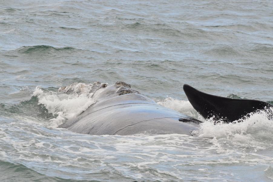 baleines hermanus walker bay (2)