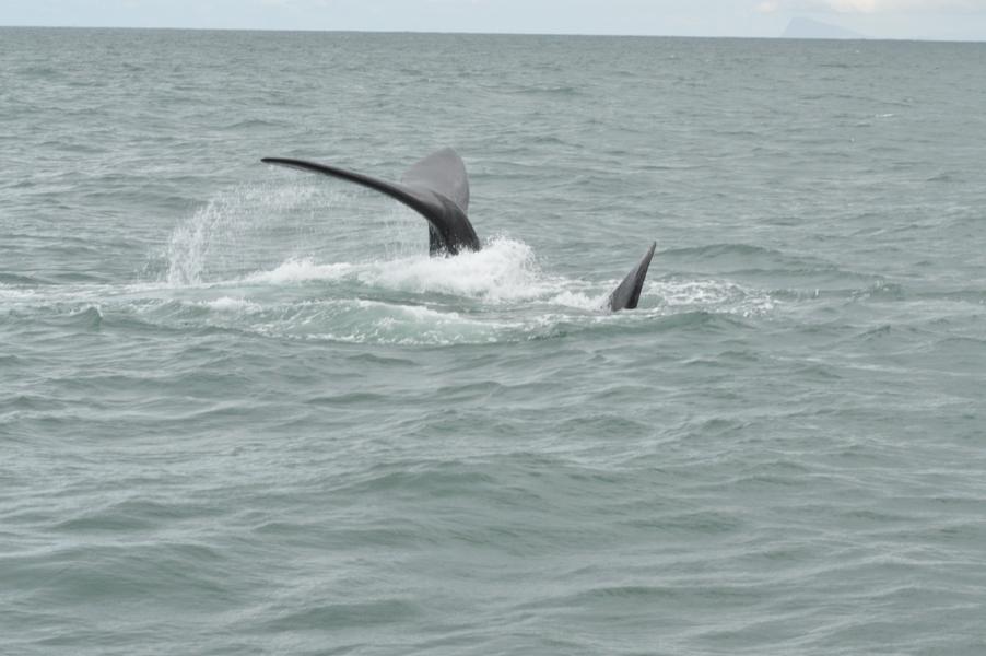 baleines hermanus walker bay (4)