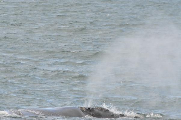 baleines qui crache
