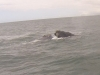 baleines hermanus (1)