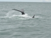baleines hermanus walker bay (4)