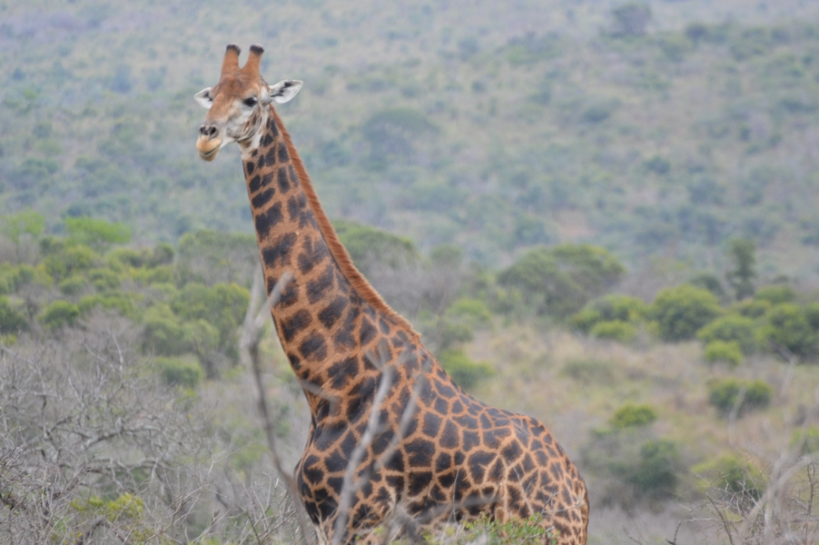 girafe hluhluwe (1)