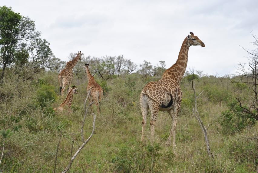 girafe hluhluwe (4)