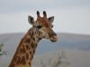 girafe hluhluwe (2)