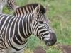 zebre hluhluwe (2)