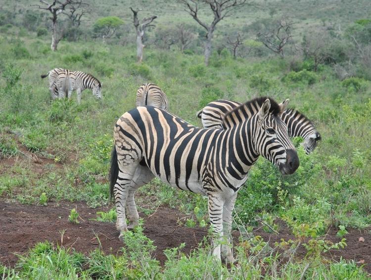 zebres hluhluwe