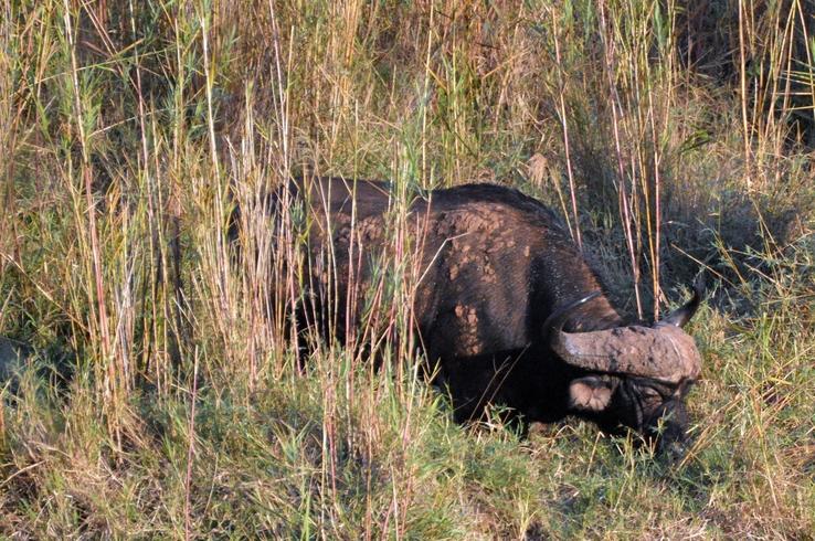 bufle Karongwe (1)