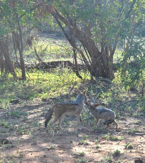 chacal Karongwe (1)