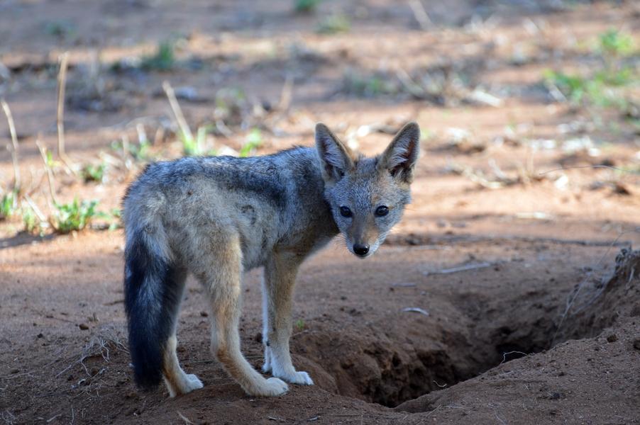 chacal petit Karongwe (1)