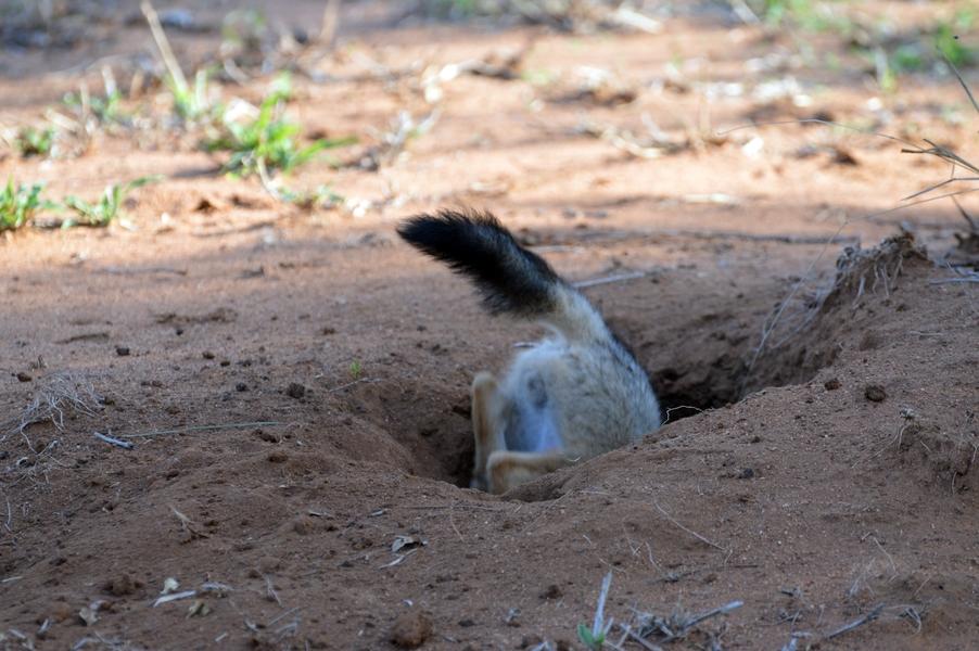 chacal petit Karongwe (2)
