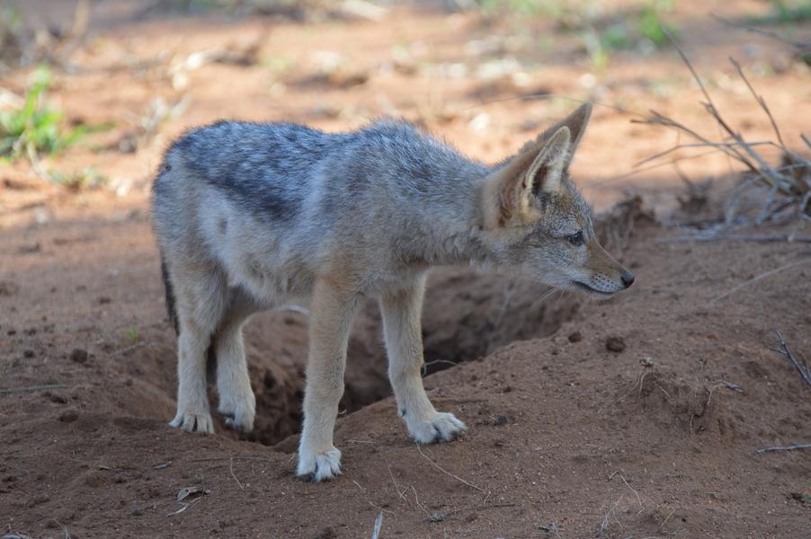 chacal petit Karongwe (3)