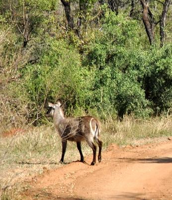 cobe chemin Karongwe