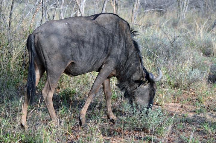 gnou Karongwe (1)