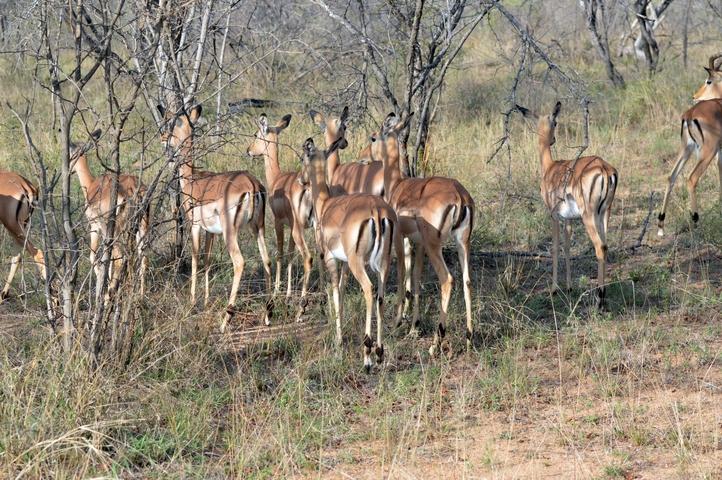 impala Karongwe