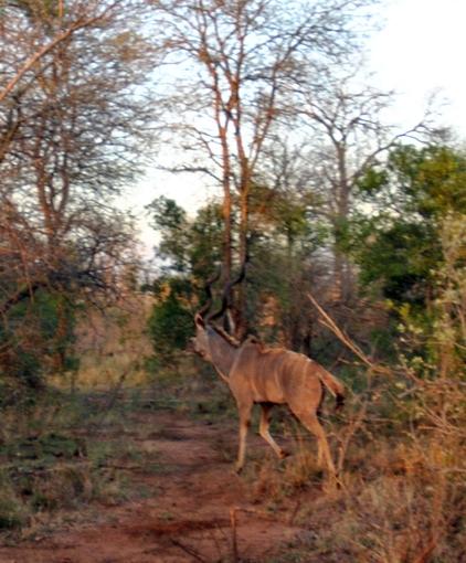 koudou Karongwe