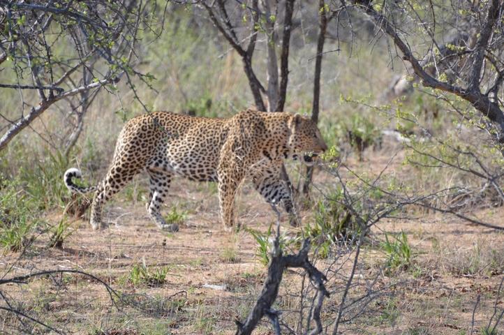 leopard Karongwe (1)