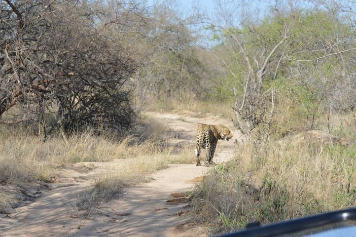 leopard Karongwe (2)