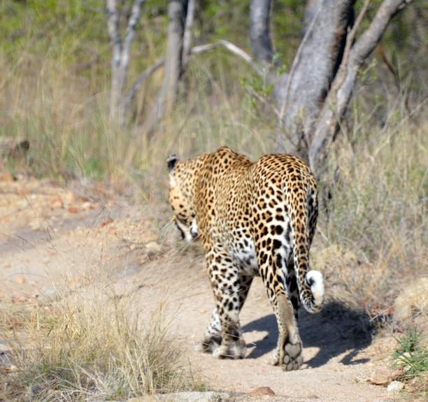 leopard Karongwe (6)