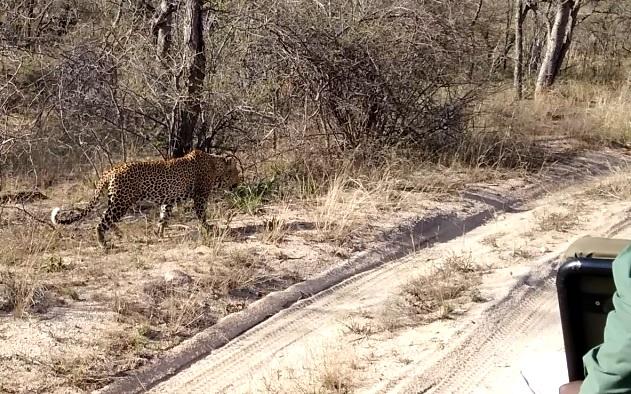 leopard male (5)
