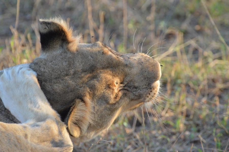 lion Karongwe (10)