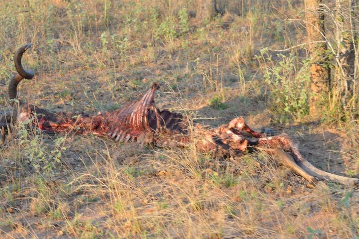 lion Karongwe (11)