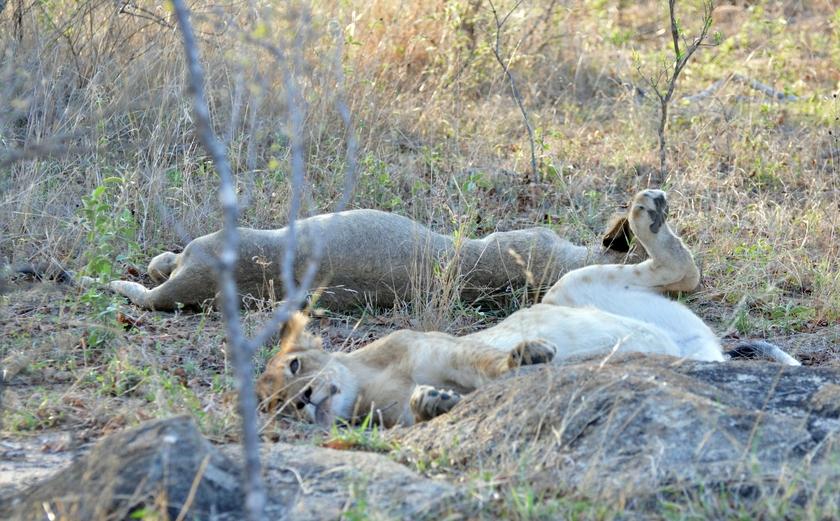 lion Karongwe (2)