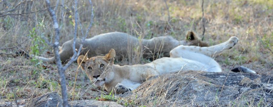 lion Karongwe (3)