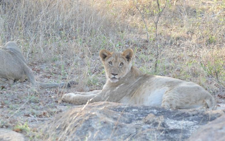 lion Karongwe (6)