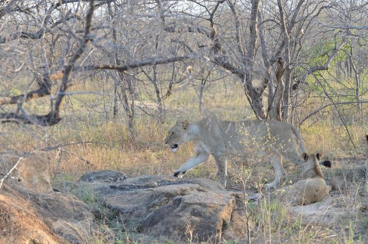lion Karongwe (7)