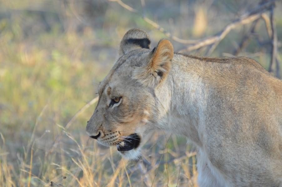 lion Karongwe (8)