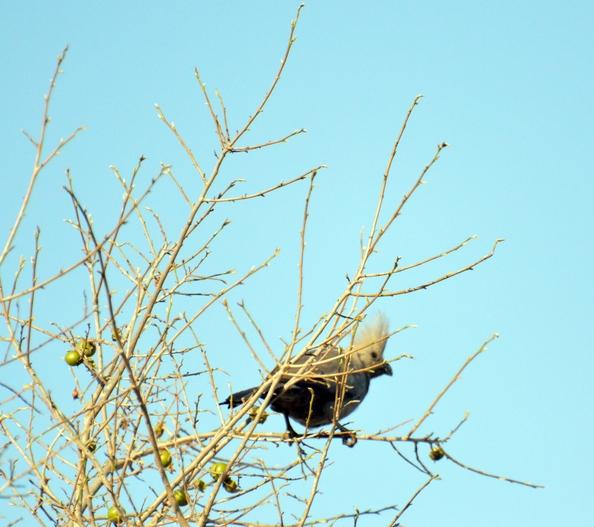 oiseau Touraco concolore Karongwe