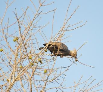 oiseau Touraco concolore avec hupe karongwe