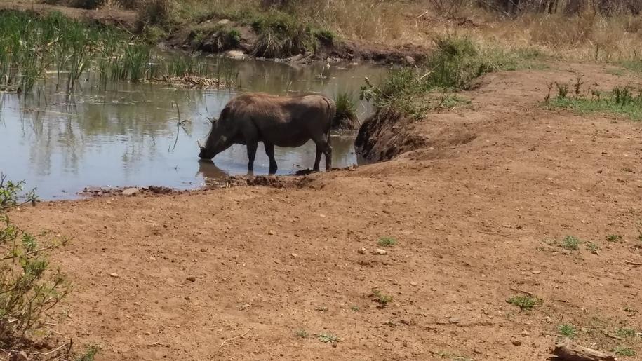 phacochere Karongwe