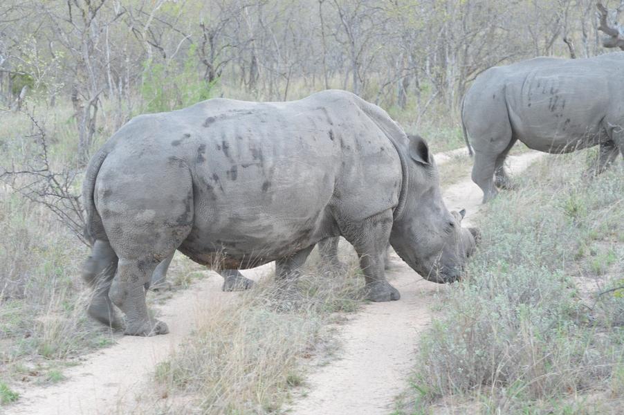 rhino Karongwe (5)
