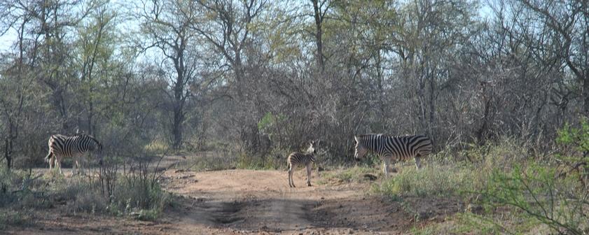 zebre petit Karongwe