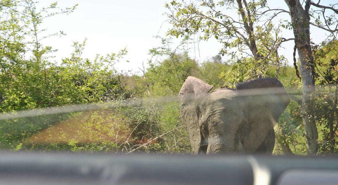 Elephant devant voiture kruger