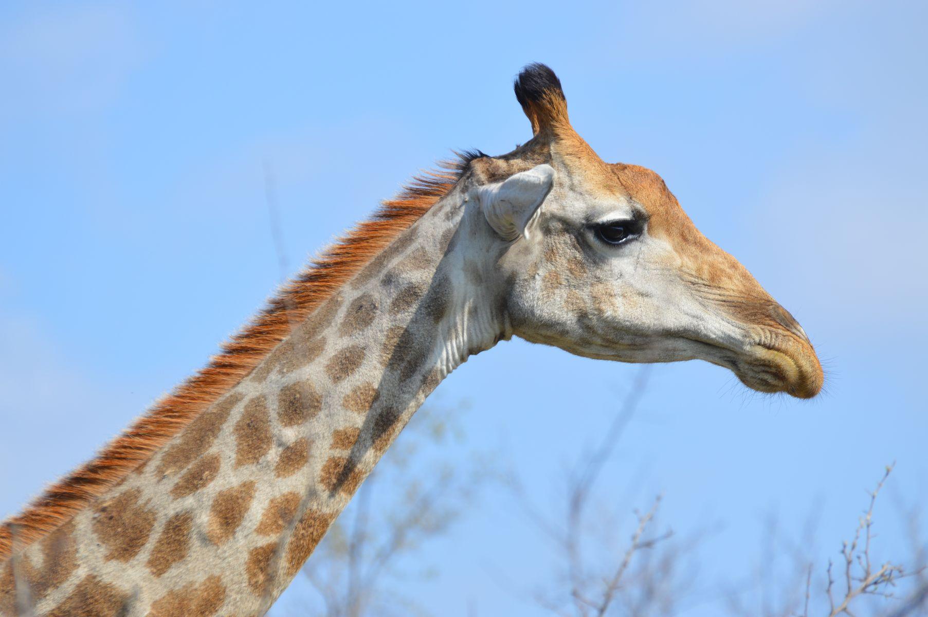 girafe kruger