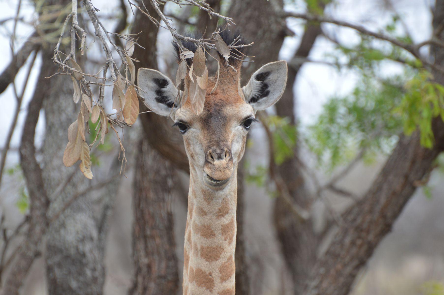girafe tete kruger