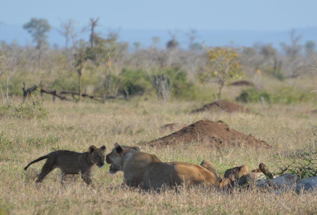 lions kruger