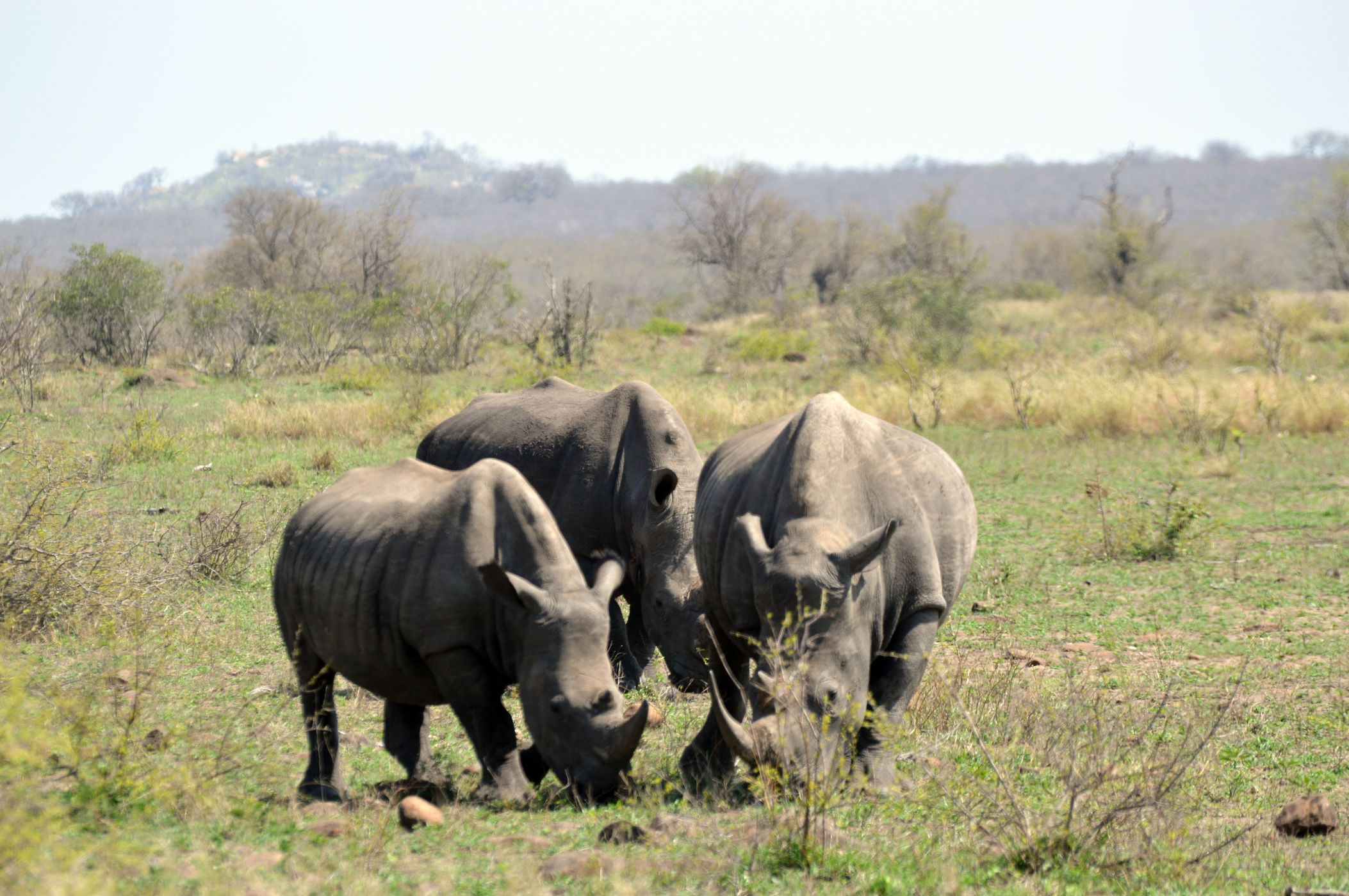 rhino famille kruger