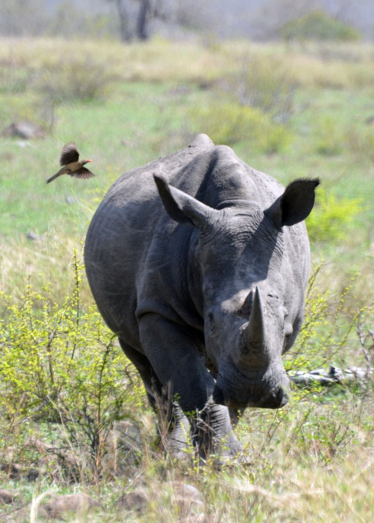 rhino vers nous kruger